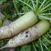 大根おろしの栄養と効能!便秘解消や風邪予防に効果あり